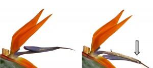 Blüte der Paradiesvogelblüte: Vorbild für den Flectofin, © Plant Biomechanics Group Freiburg